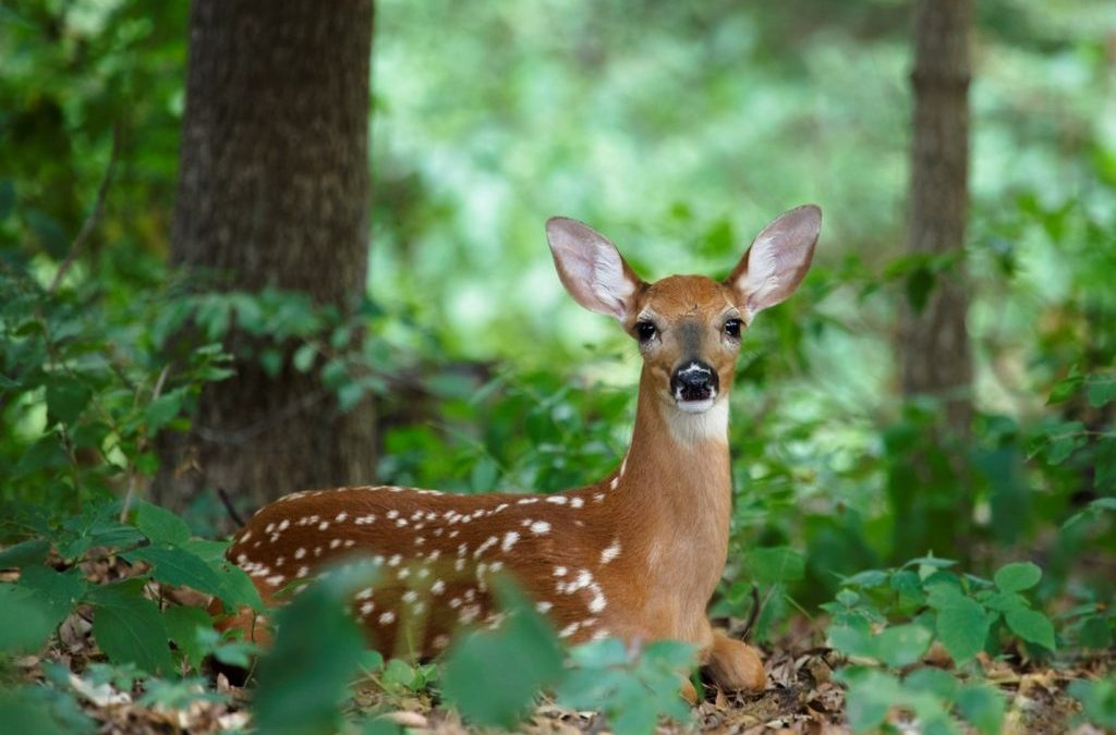 Deer Laying in a Forest